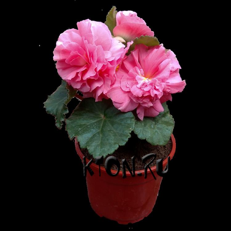 рассада цветов в астрахани купить