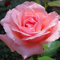 Роза флорибунда Квин оф Ингланд (Rose floribunda Queen of England)