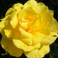Роза флорибунда Фрезия (Rose floribunda Friesia)