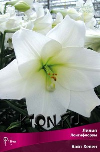 Лилия Лонгифлорум Вайт Хевен (Lilium Longiflorum White Heaven)