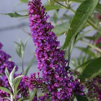 Буддлея Давида Баттерфляй Тауэр (Buddleja davidii Butterfly Tower)