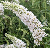 Буддлея Давида Сноу Вайт (Buddleja davidii Snow White)