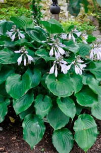 Хоста гибридная Мунлайт Соната (Hosta hybrid Moonlight Sonata)