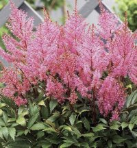 Астильба Арендса Смайл эт Ми (Astilbe Arendsii Smile at Me)