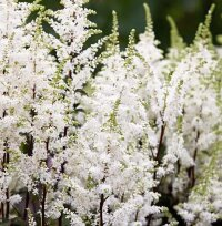 Астильба Арендса Хэппи Спирит (Astilbe Arendsii Happy Spirit)