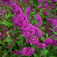 Буддлея Давида Бордер Бьюти (Buddleja davidii Border Beauty)