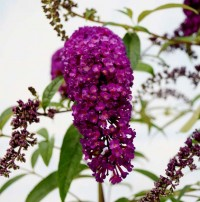 Буддлея Давида Ройал Ред (Buddleja davidii Royal Red)