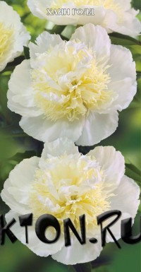 Пион Хани Голд (Paeonia Haney Gold)
