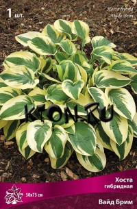 Хоста гибридная Вайд Брим (Hosta hybrid Wide Brim)