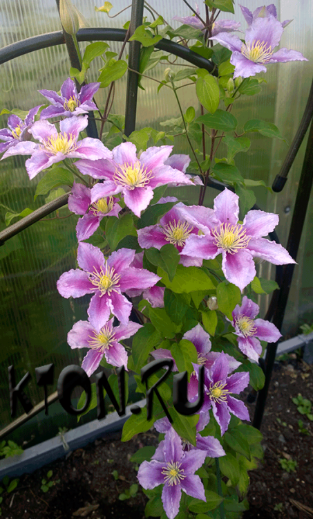 Клематис Доктор Раппел (Clematis Doctor Ruppel)