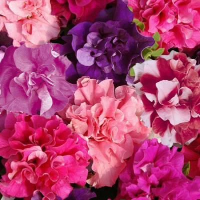 купить рассаду цветов в тихорецке