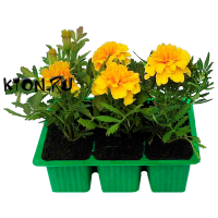 Рассада Бархатцы отклоненные Литл Хироу (Tagetes patula Little Hero) 6 шт