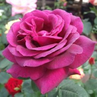 Роза чайно-гибридная Биг Пепл (Rose Hybrid Tea Big Purple)