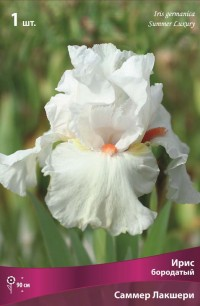 Ирис бородатый Саммер Лакшери (Iris germanica Summer Lakshery)