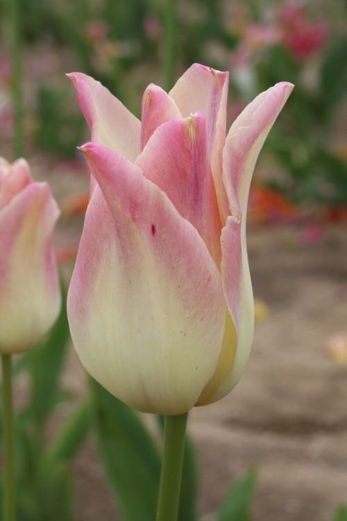 Интернет магазин цветов лилий для сада
