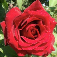 Роза чайно-гибридная Лавли Ред (Rose Hybrid Tea Lovely Red)