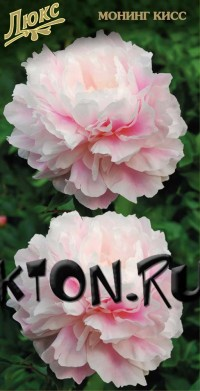 Пион Монинг Кисс (Paeonia Morning Kiss)