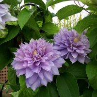 Клематис Бель оф Вокинг (Clematis Belle of Woking)