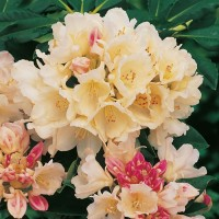 Рододендрон якушиманский Голден Точ (Rhododendron catawbiense Golden Torch)
