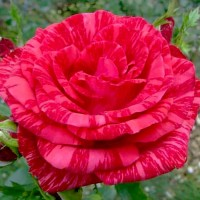 Роза чайно-гибридная Ред Интуишн (Rose Hybrid Tea Red Intuition)
