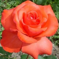 Роза чайно-гибридная Холстенперл (Rose Hybrid Tea Holsteinperle)