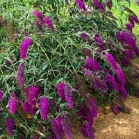 Буддлея Давида Нано Пепл (Buddleja davidii Nanho Purple)