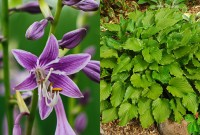 Хоста гибридная Пёпл Сенсейшн (Hosta hybrid Purple Sensation)