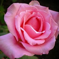 Роза чайно-гибридная Эйфель Тауэр (Rose Hybrid Tea Eiffel Tower)
